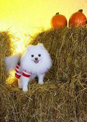 Pin By Sharon Pollard On Pomeranian S My Dog Of Choice Pomeranian Puppy Toy Dog Breeds Pomeranian