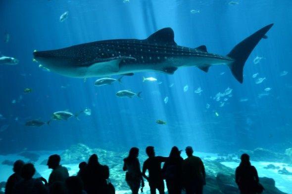 Diving with Whale Sharks in the Georgia Aquarium   Georgia ...