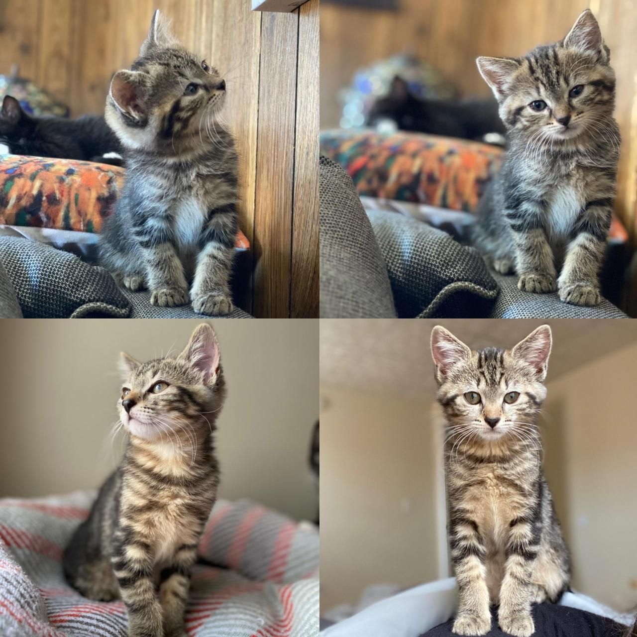 8 Weeks To 12 Weeks Please Stop Growing Submit Your Cute Pet Here Source Https Bit Ly 3gbsfog In 2020 Kitten Adoption Cat Post Diy Dog Stuff