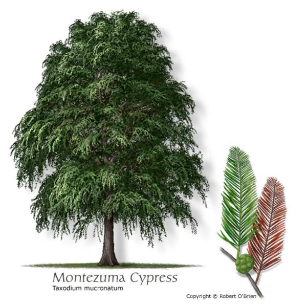 Ahuehuete Montezuma Cypress Taxodium Mucronatum Especies De Arboles Plantacion De Arboles Arboles Nativos