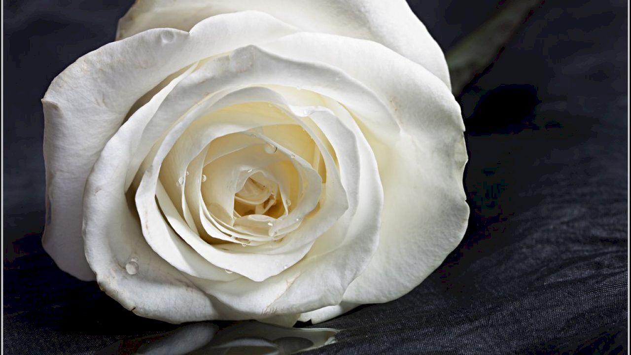 ما معنى الوردة البيضاء Rose White Roses Flowers