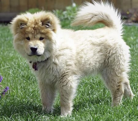 how to take care of a chow chow puppy