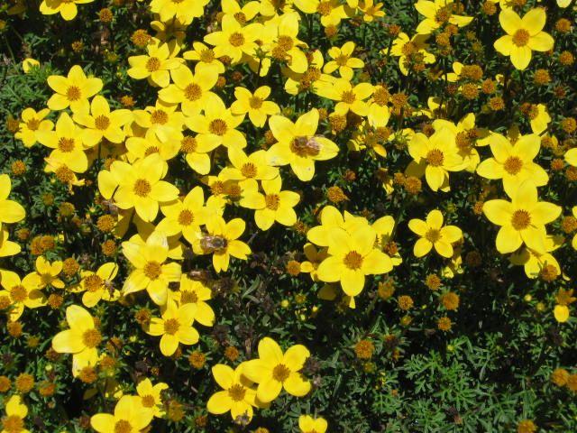 Yellow Flowering Perennials Perennial Full Sun Trailing Yellow
