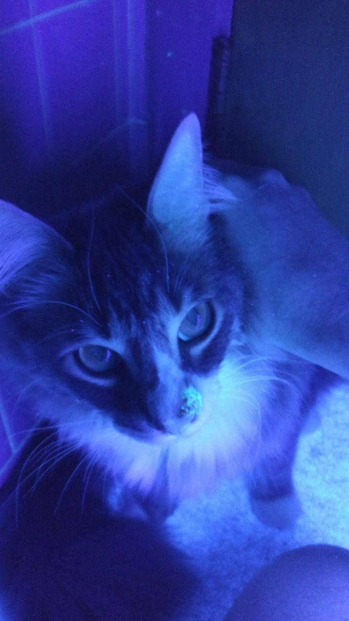 Ringworm In Kittens Treatment