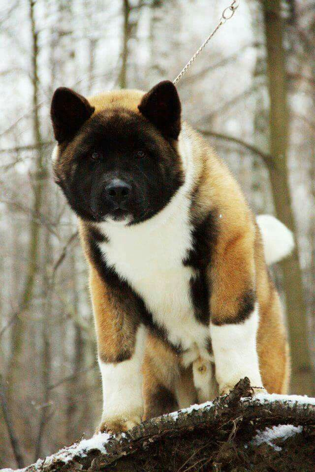 Beautiful Markings On This Akita Bear American Akita Dog Akita
