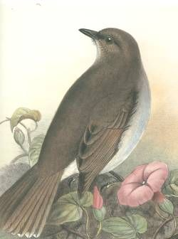 kāmaʻo list of recently extinct bird species wikipedia birds