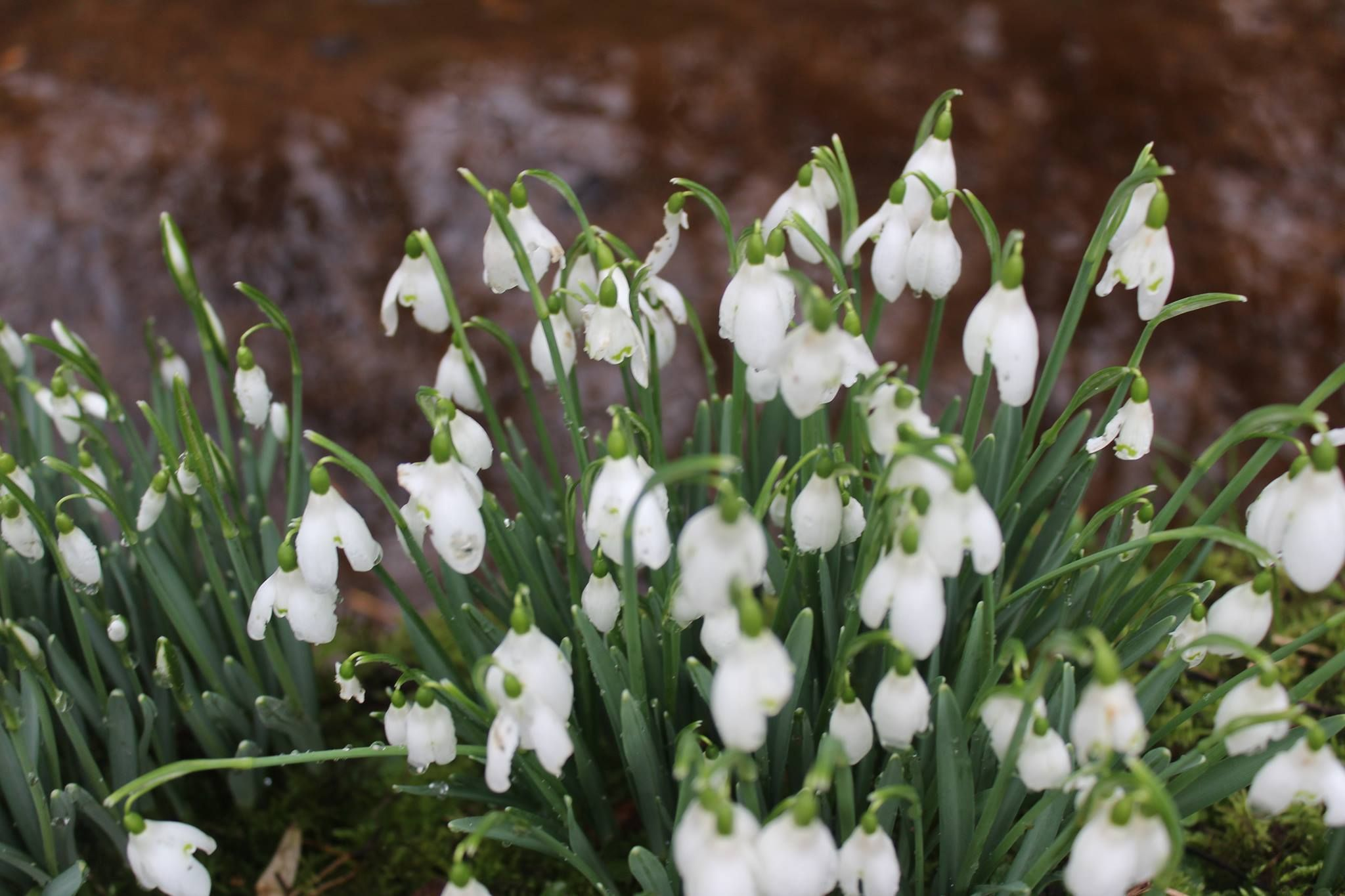 Bell Shaped Snow Drops Are Also Known As Galanthus Which In Latin
