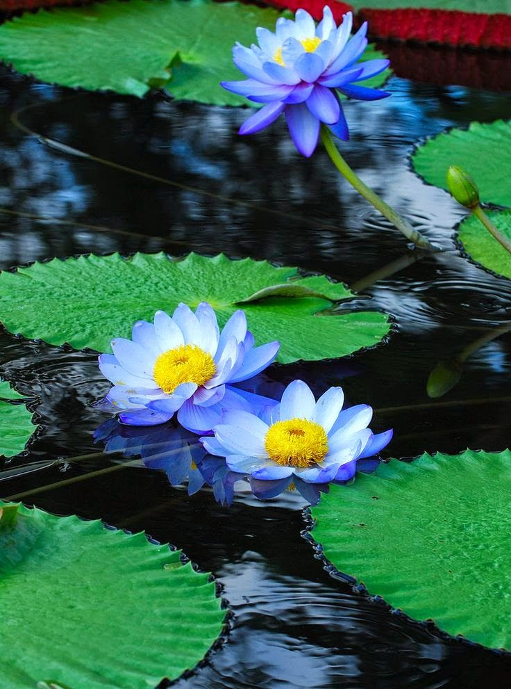 Blue water lilies pinteres