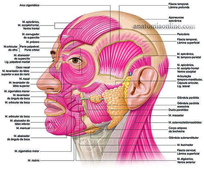 Anatomia Online - Músculos da Cabeça | Inverno 2018 | Pinterest ...