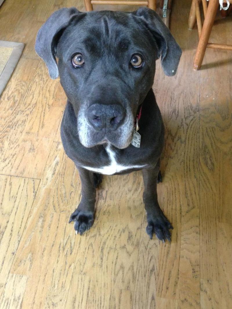 Adopt Izzy On Dog Great Dane Dogs Dogs Weimaraner