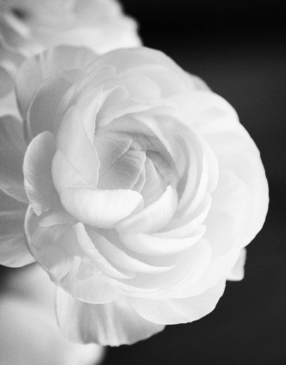 White Ranunculus Black And White Photography Instant Download