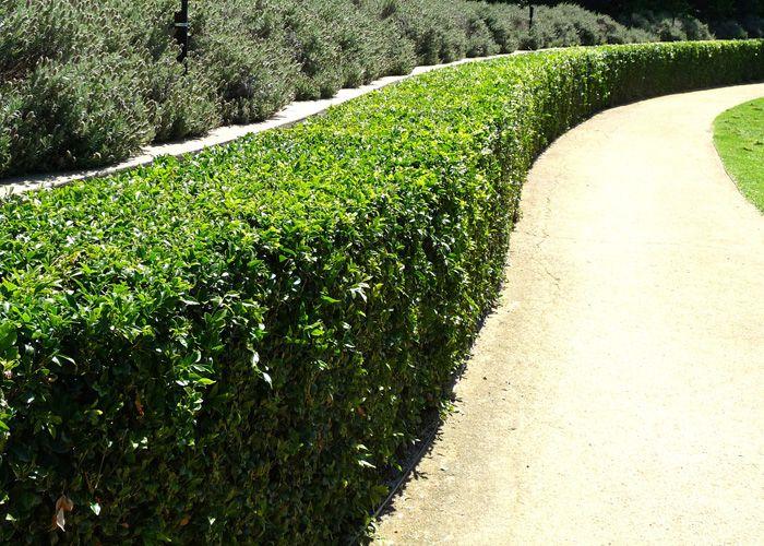 Murraya Paniculata Hedge Hedges Murraya Hedge Garden On A Hill
