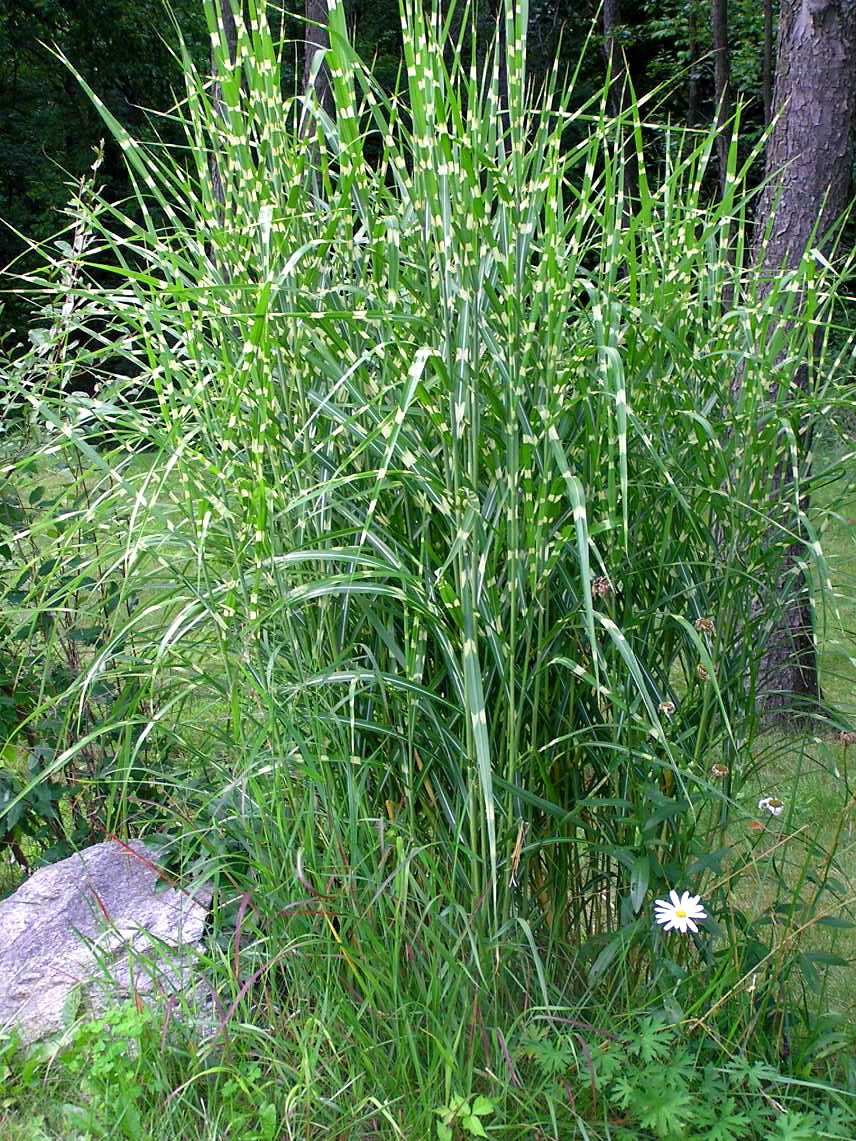 Zebra ornamental grass care tips for growing zebra grass plants zebra grass plants provide four seasons of interest with young spring variegated striped foliage summer copper colored inflorescence fall golden leaves workwithnaturefo