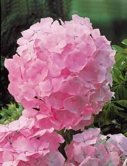 Collection de 3 Hortensias (1 rouge + 1bleu + 1 rose)