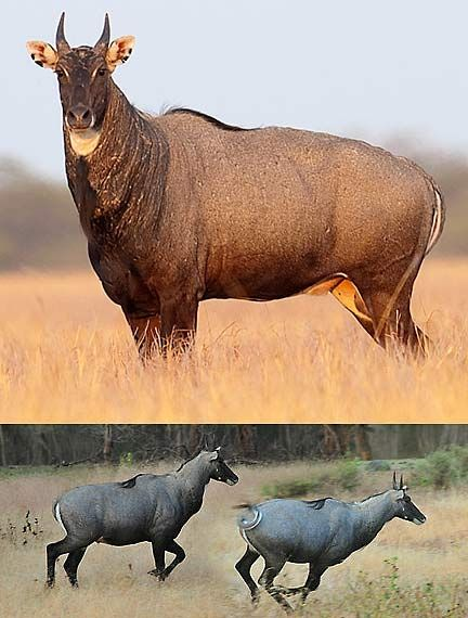 Nilgai Blue Bull Of India Animal Pictures And Facts Factzoo