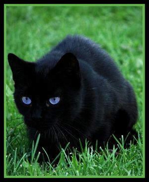 Pin By Trinity Arnold On Cute Cats Cat With Blue Eyes Black Cat Pretty Cats