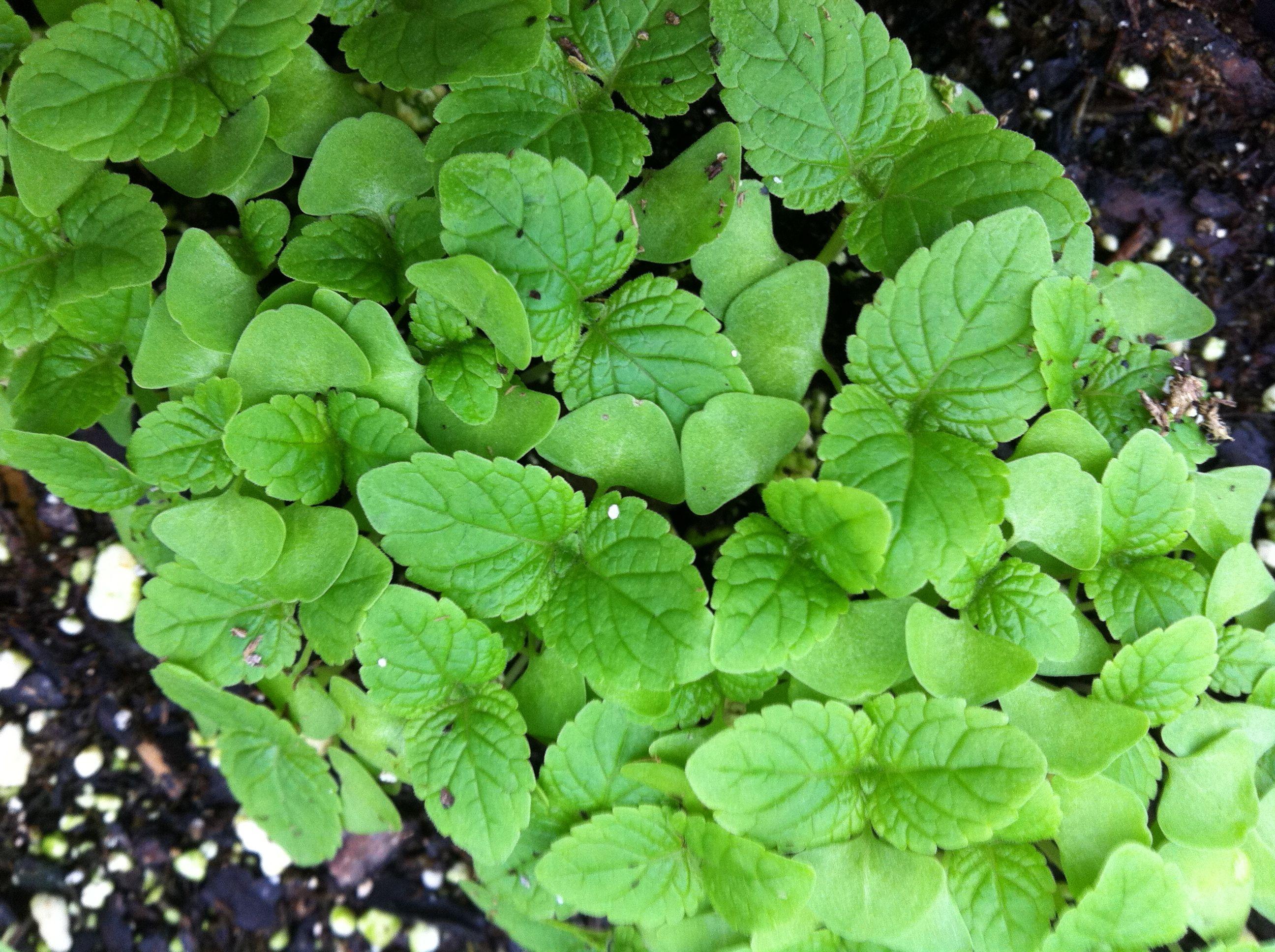 Tarahumara Chia (produces edible seeds) and Kenikir (Edible Cosmos ...