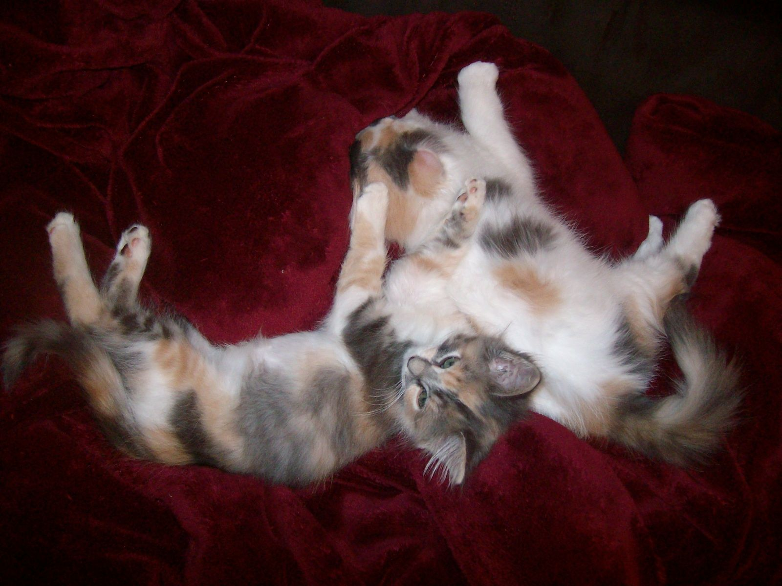 Dilute Calico Kitten Click to see more funny cats Cute