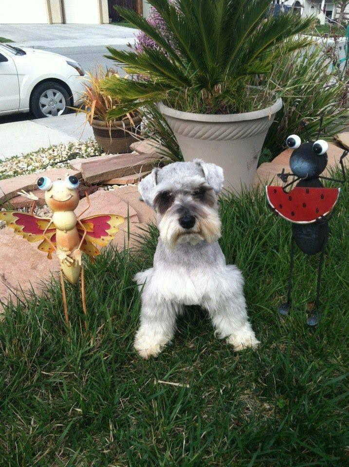 Miniature Schnauzer Puppies, Schnauzer Puppies For Sale