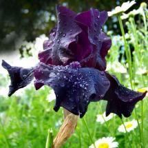National Flowers Jordan Black Iris With Images Black Iris Iris Flowers Flowers