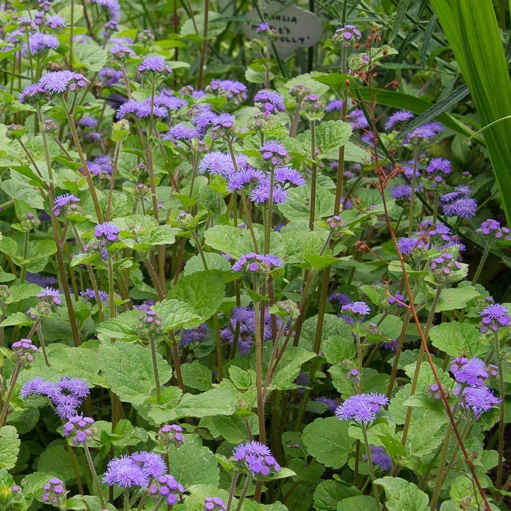 Ageratum Blue Planet White Flower Farm Blue Flower Top Plants