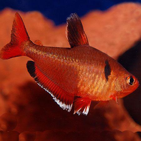 Serpae Tetra Fish Tropical Fish Tropical Fish Tanks