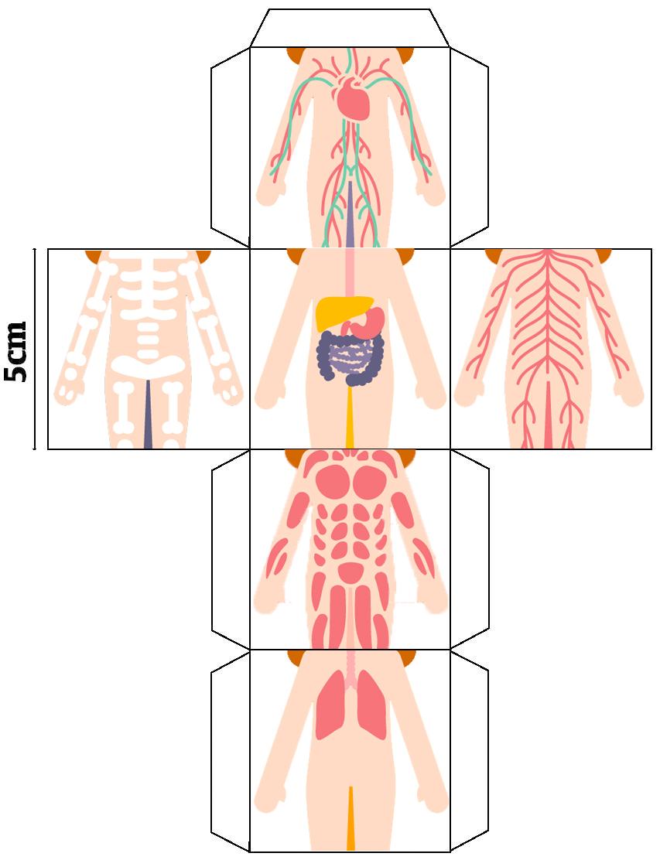 cubo magico   Aparatos del cuerpo humano, Sistemas del cuerpo humano, Cuerpo  humano para niños