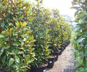 Magnolia Kay Parris Speciality Trees Reclaiming Privacy With Screens Hedges Hedges Plants Front Yard