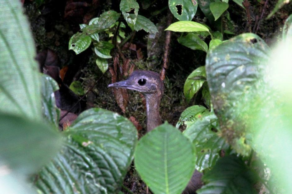 16-Crypturellus soui (Mauricio Rueda - Birds of Colombia)