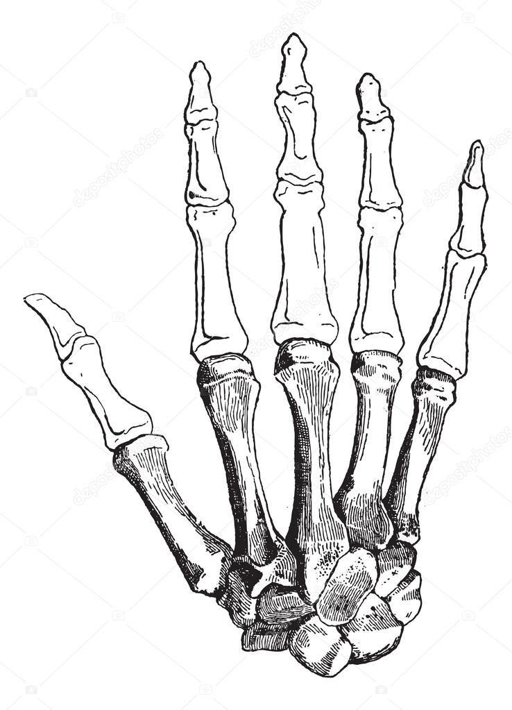 Resultado de imagen para huesos mano vector   Dibujos   Pinterest ...