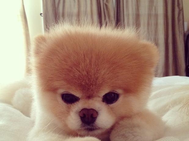 No Dia Mundial dos Animais, relembre peta famosos  essa é Boo  um cachorro da raça Lulu da Pomerânia que ficou conhecido nas redes sociais como o cachorro mais fofo do mundo. Ele tem uma página no Facebook e são compartilhadas diversas fotos de cães