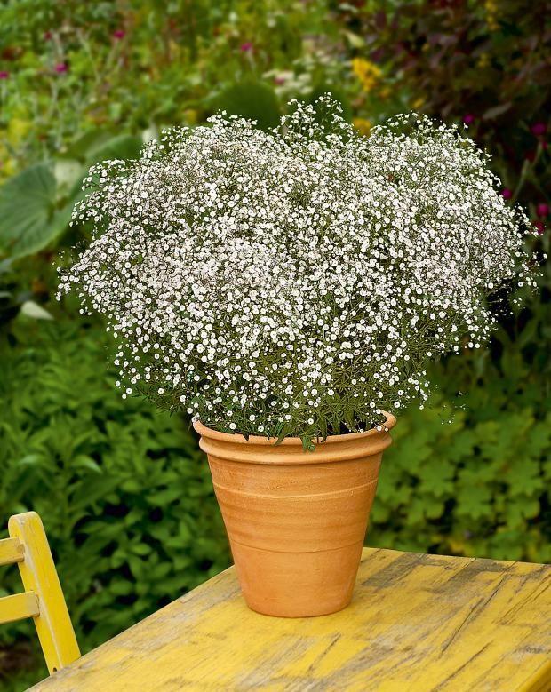 Winterharte Balkonpflanzen: Schleierkraut (Gypsophila) - #Balkonpflanzen #Gypsophila #pflanzen #Schleierkraut #Winterharte #pflegeleichtepflanzen