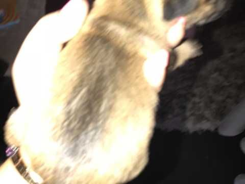 Jug Puppies For Sale Doncaster South Yorkshire Pets4homes