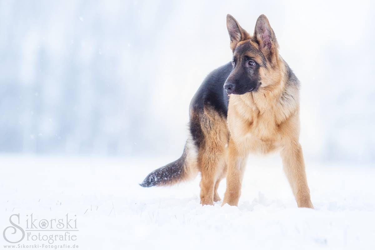 """Deutscher Schäferhund Welpe """"Paul"""" und sein erster Schnee"""