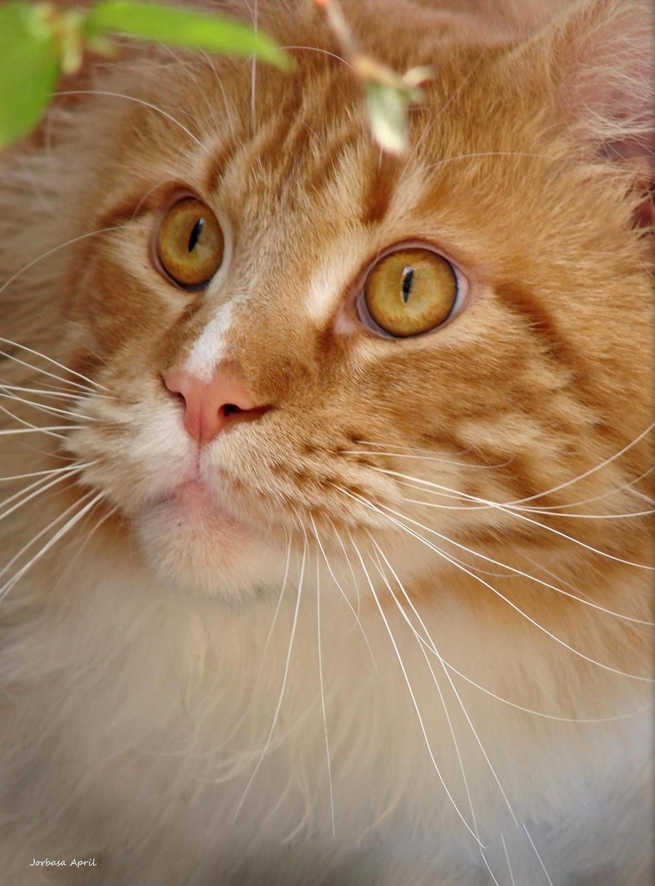 That face! (by Jorbasa) Bobtail cat, Orange cats, Cat life