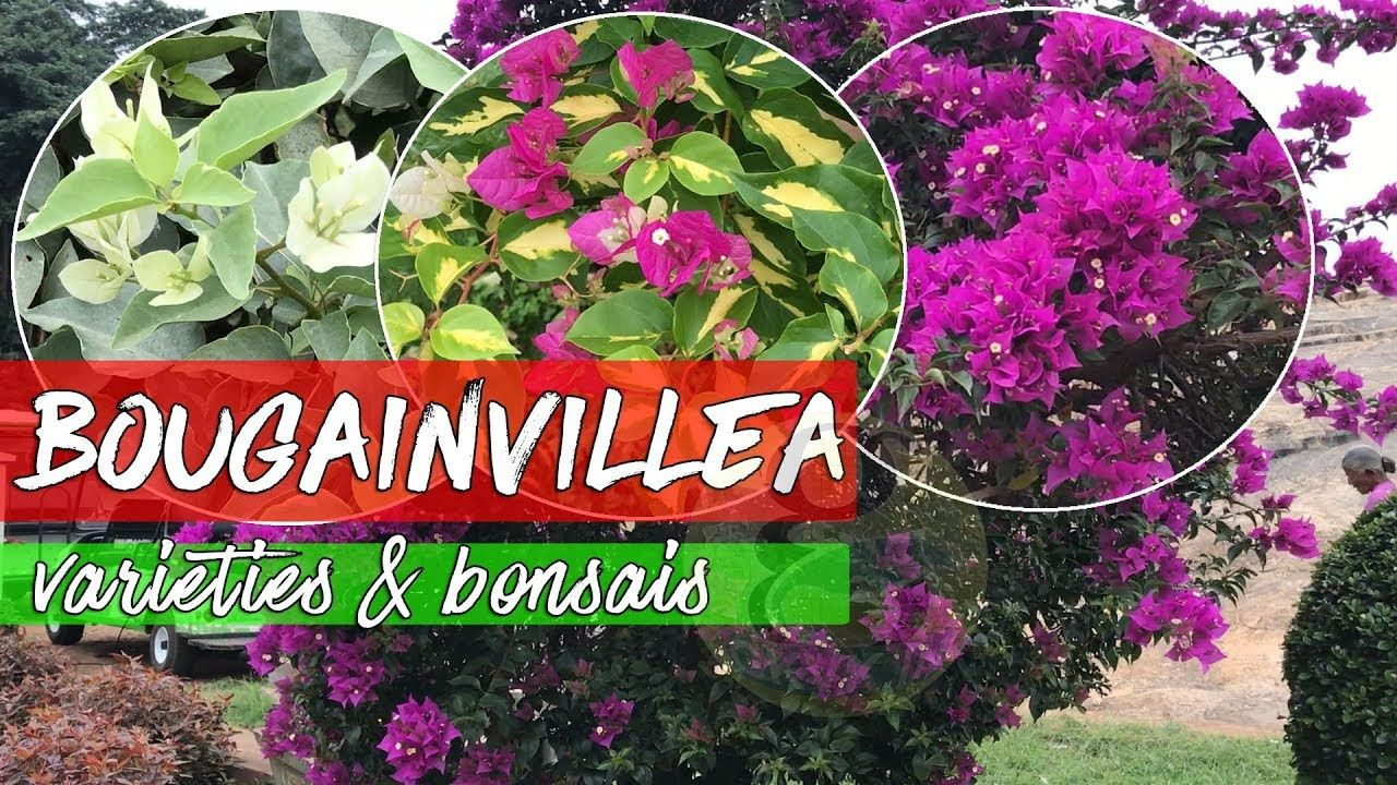 This is a video showing beautiful bougainvillea species and also a ...