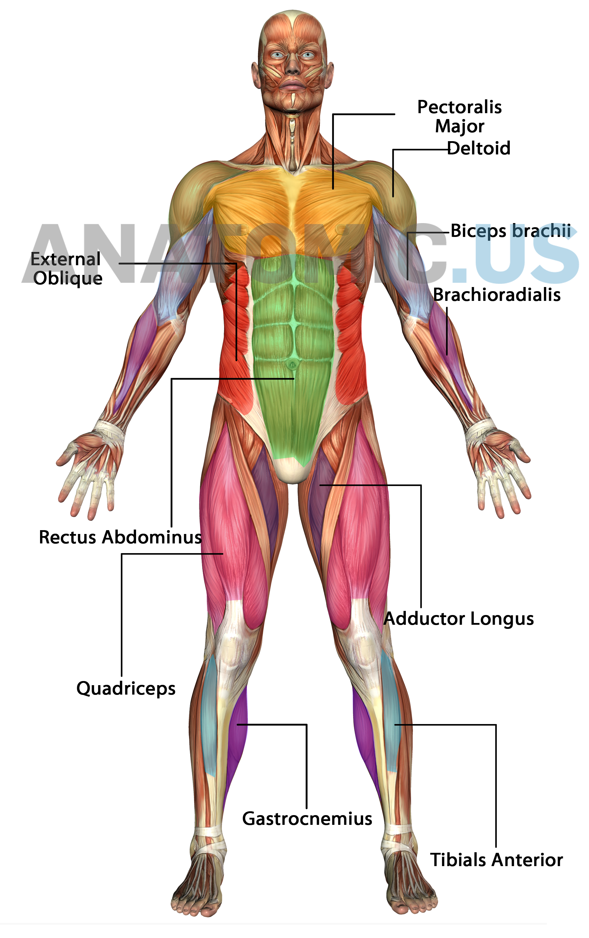 Pin By Anatomic Us On Anatomy Flashcards Pinterest Muscular