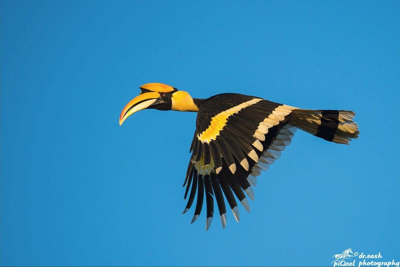 Great Indian Hornbill-Male