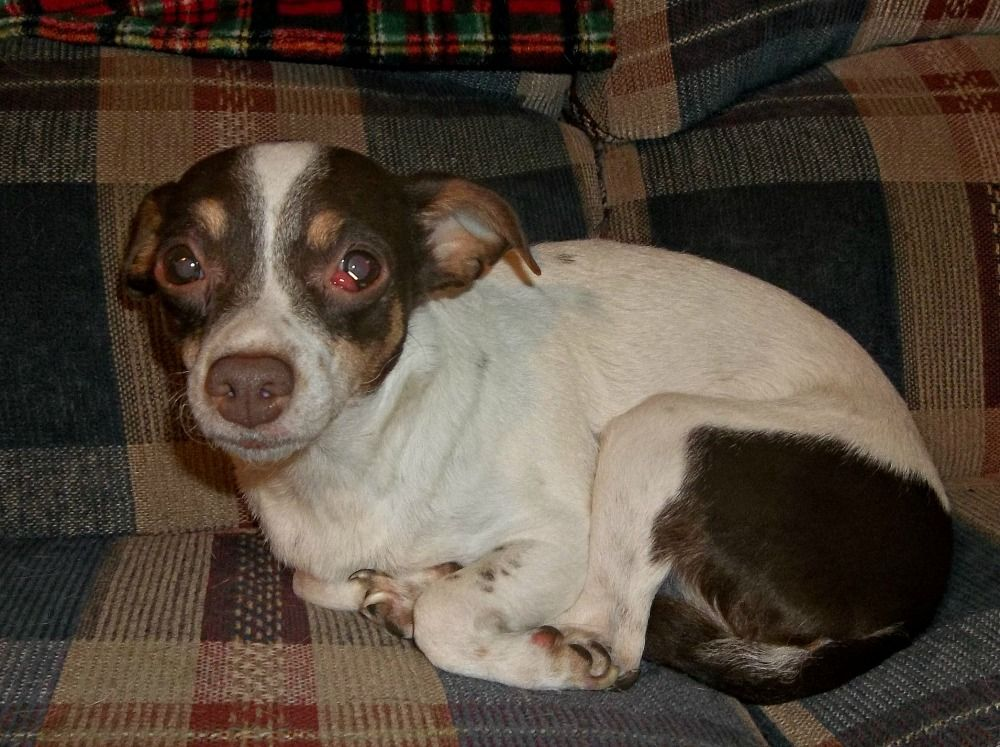 A special needs chihuahua named brownie chihuahua names