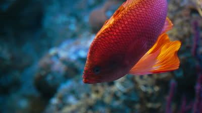 stock-footage-colorful-and-bright-fish-swimming-on-the-tank-of-the-aquarium.jpg 400×224 pixels
