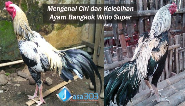 Foto Ayam Siam Super Ciri Ciri Ayam Bangkok Thailand Asli Yang Berbeda Dengan Di