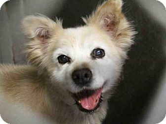 Mesa Az American Eskimo Dog Pomeranian Mix Meet Angel A Dog For