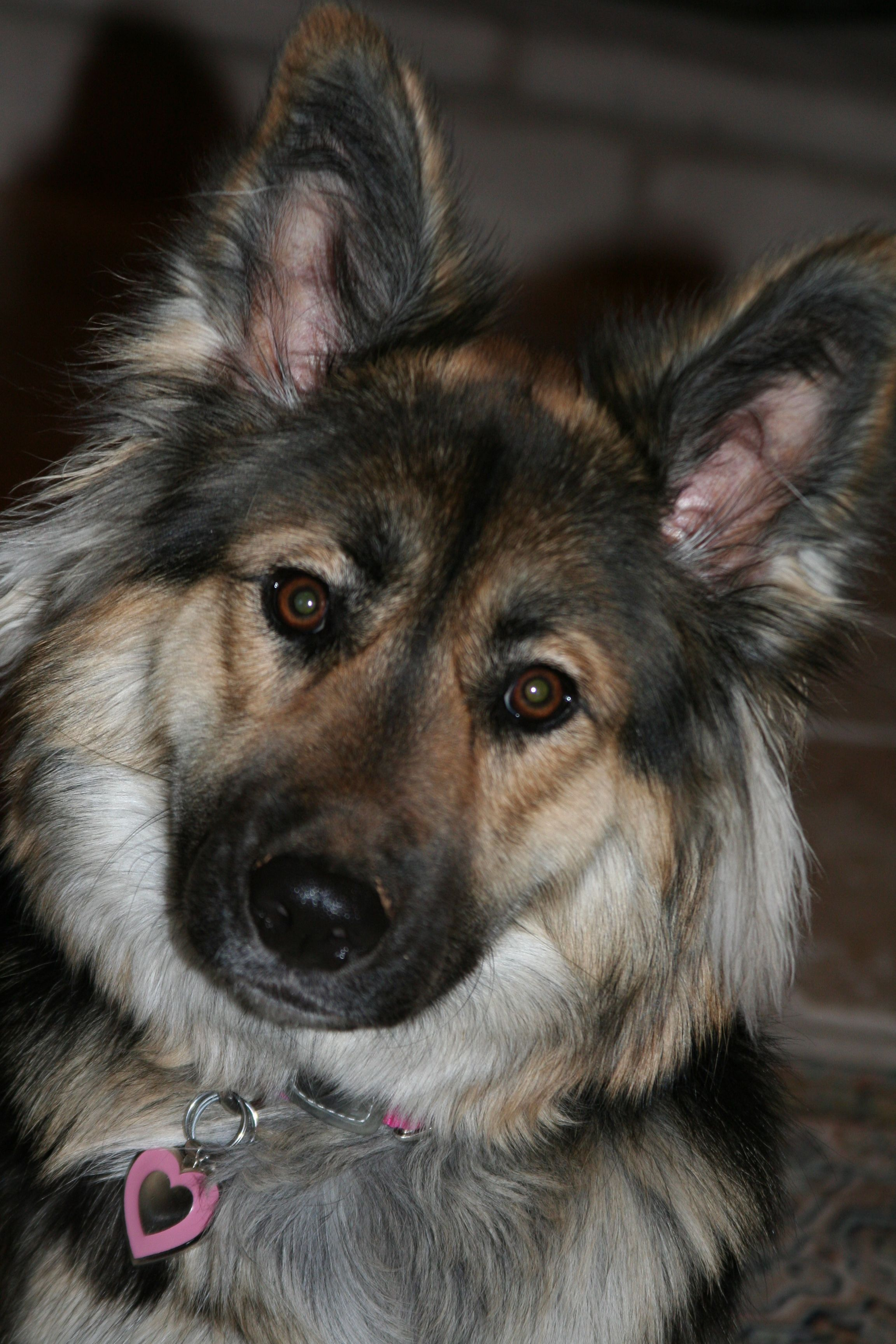 My Ger Bord Sky German Shepherd Border Collie Husky Mix Love Her Got To Love Those Mutts Animaux