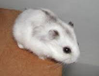 Pin By Paige Chiki On Animals Dwarf Hamster Siberian Hamster