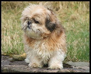 Shih Tzu Puppy Pictures And Wallpapers With Images Dog Breeds