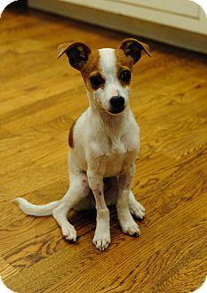 Chicago Il Rat Terrier Chihuahua Mix Meet Putt Putt A Puppy