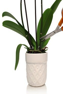 New Flower Buds Will Not Form On An Old Orchid Flower Spike That Has Turned Yellow Or Brown If This Repotting Orchids Orchid Rebloom Phalaenopsis Orchid Care