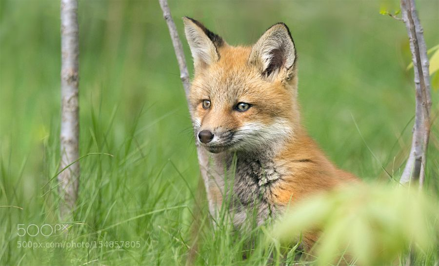Spring 2016 Young Fox by jelrdan