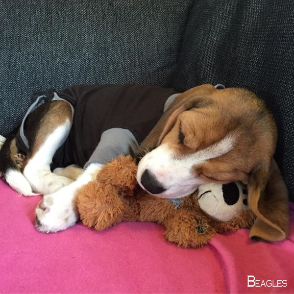 Beagles Forever Beaglesofig Beagle Hound Dogs Rule Cute