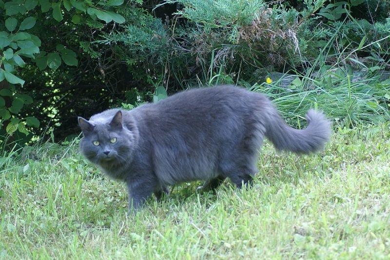 Felis silvestris catus Chat domestique Catus, Black